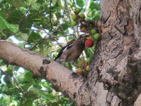 Bird-Eating-Figs-Anjeer-Fruit
