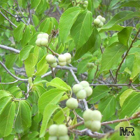 Grewia-Asiatica1اا