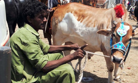 HYDERABAD, PAKISTAN, SEP 14: Vendor selling sacrificial animal at a cattle market settled at Highway on the occasion of Eid-ul-Azha coming ahead, in Hyderabad on Monday, September 14, 2015. (Aftab Ahmed/PPI Images).