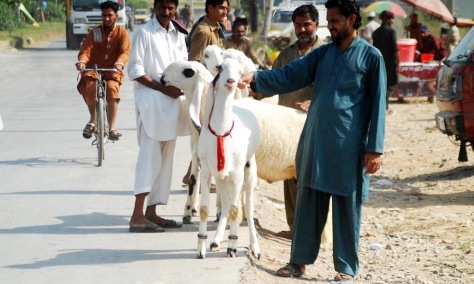 Px14-031 ISLAMABAD: Sep14 - Sacrificial animals have arrived in the capital in connection to Eid ul Azha celebrations. ONLINE PHOTO by Muhammad Asim
